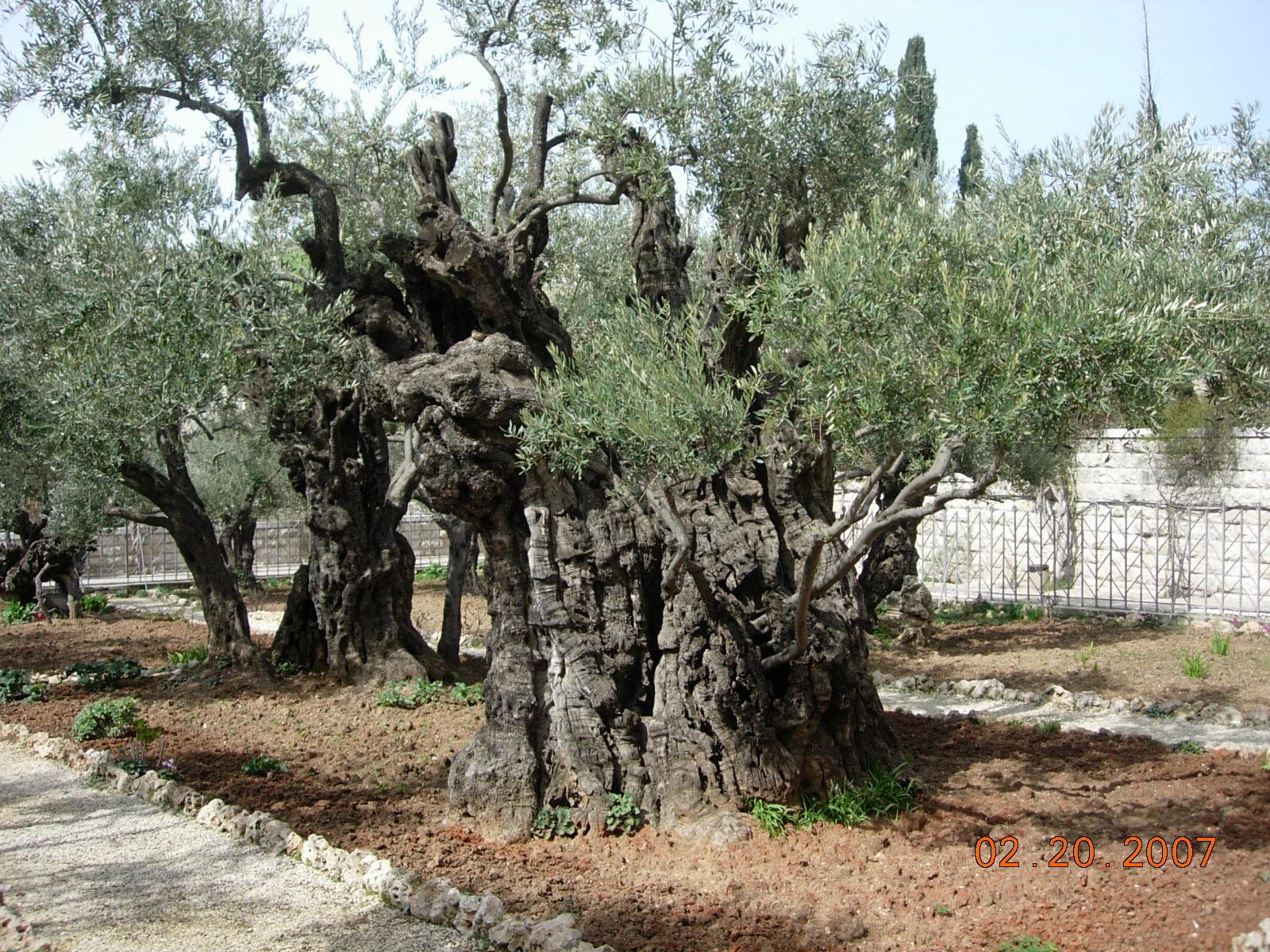 上图:客西马尼园现在有八棵巨大的橄榄树,可能在主耶稣的时代就存在了。