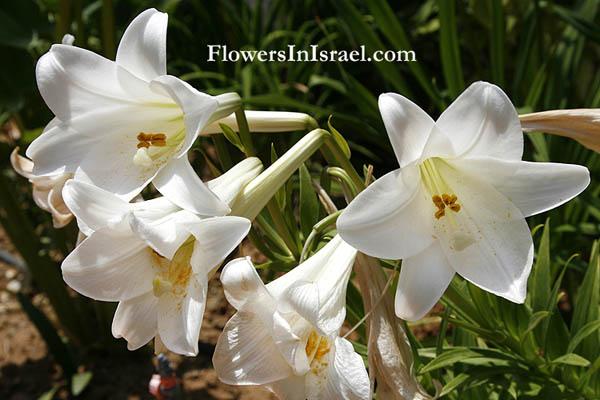 上图:以色列的野地里有许多种百合花。以上是其中一种:圣母百合(Madonna Lily,Lilium Candidum)。