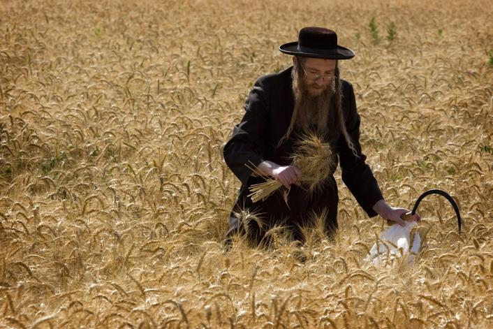 上图:一位正统犹太人用镰刀割麦子庆祝五旬节。