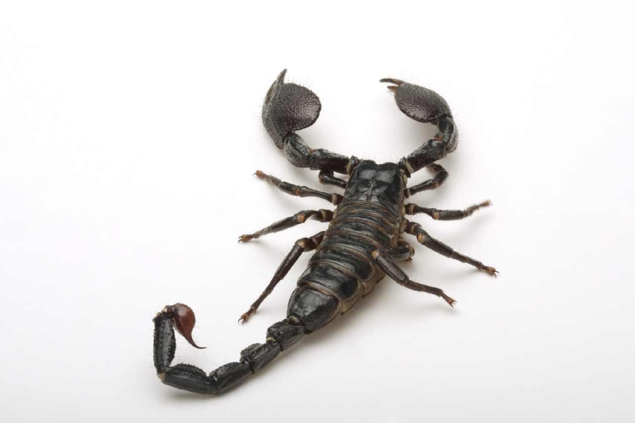 上图:蝎子。