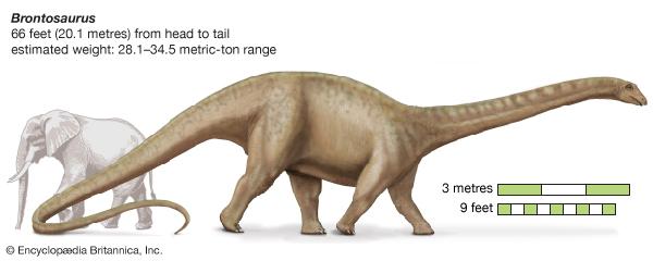 上图:秀丽迷惑龙(Apatosaurus Excelsus,即雷龙Brontosaurus)与大象的对比。成年秀丽迷惑龙重达28.1-34.5吨,这样大型的恐龙是怎样带进方舟的呢?