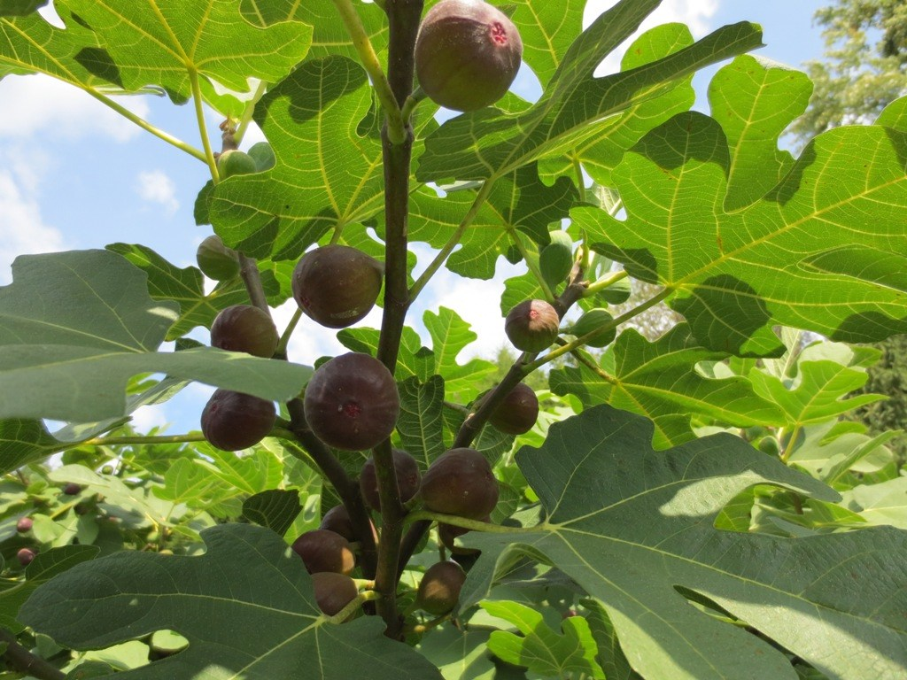 上图:无花果树的叶子,可宽达20厘米、长达30厘米。无花果树是迦南地叶子最大的树,美索不达米亚没有无花果树,但伊甸园中有无花果树。