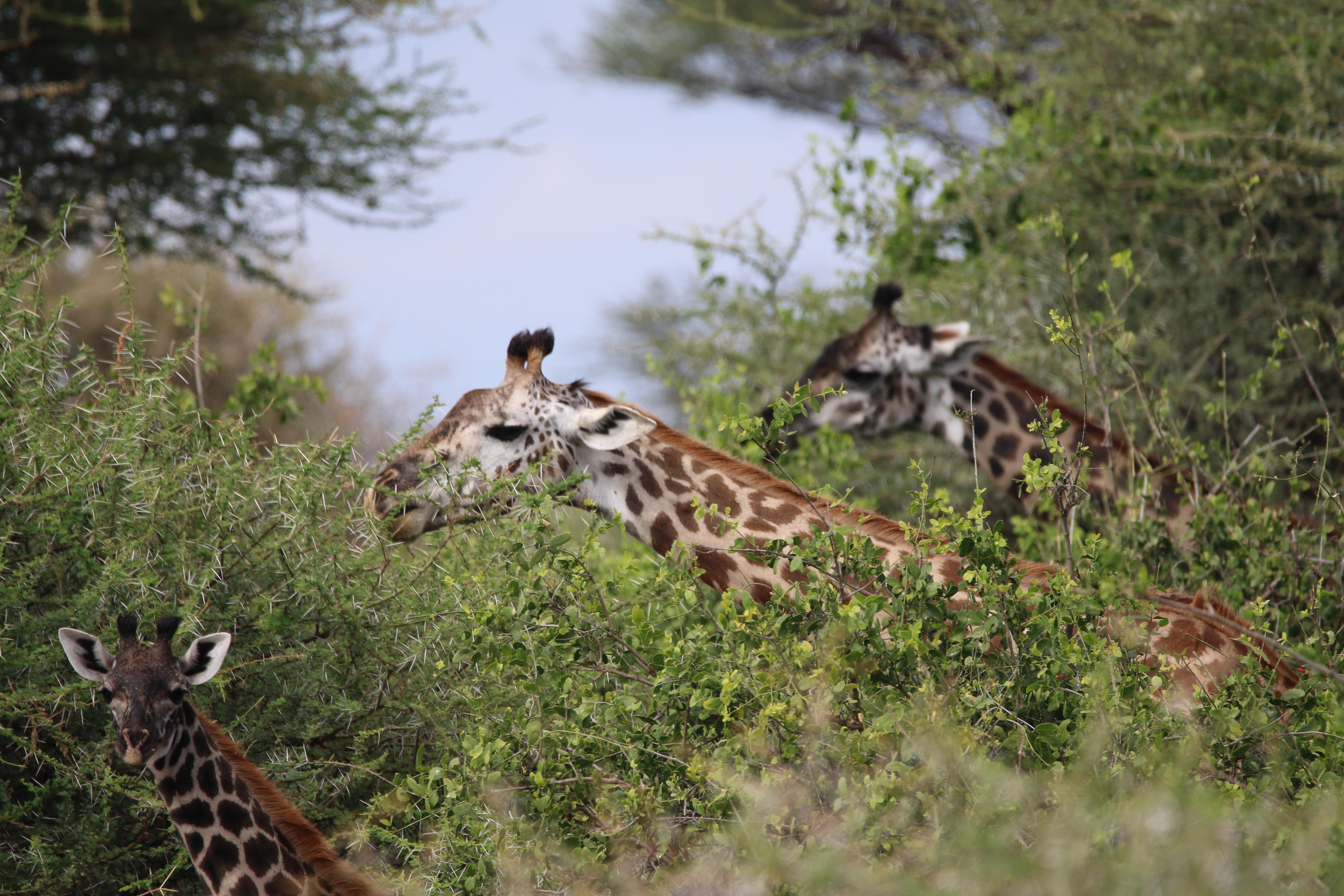 上图:东非的长颈鹿在长满荆棘的皂荚树(Acacia)上舔吃树叶,荆棘完全不妨碍长颈鹿灵巧的舌头,也不会扎着长颈鹿的脖子。神造荆棘,也是可以提供动物做食物的。