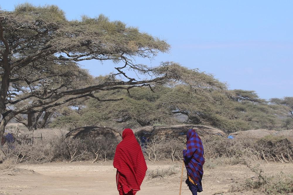 上图:东非马赛人的荆棘篱笆。东非马赛人的村庄用荆棘做篱笆,非洲人也用荆棘围成羊圈、牛圈,可以阻挡狮子等猛兽侵害。可见「荆棘和蒺藜」本来对人是有用的,只是人堕落以后,「荆棘和蒺藜」的生长失控了,造成了人和自然的不和谐。