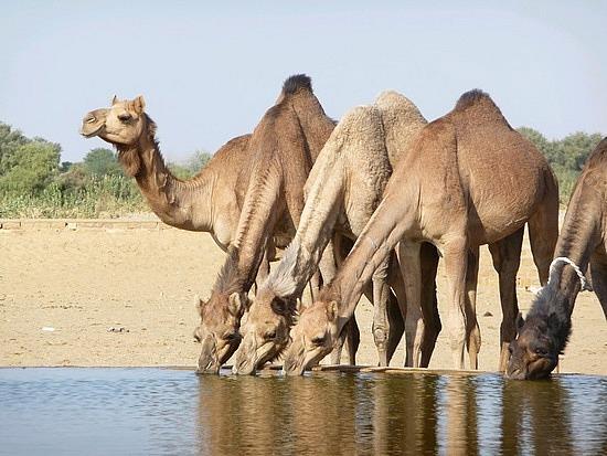 上图:一群中东的单峰骆驼(Dromedary)在水槽饮水。骆驼的水存储在血液中,喝足水后可以坚持三周。哺乳动物的血红细胞通常是圆形的,而骆驼的血红细胞是椭圆形的,在脱水(Dehydration)状态下仍可以流动,在饮用大量水时也不会因渗透性的巨变(High osmotic variation)而破裂。一头成年的单峰骆驼一次可以喝下100-150公升水,甚至可以3分钟喝200公升水。因此,「十匹骆驼」(创二十四10)需要1-2吨水才能「喝足」(创二十四19),利百加至少要为陌生人打100多瓶水!