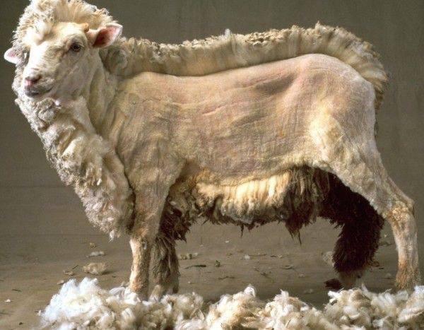 上图:一只剪了一半羊毛的羊。通常在春季羊羔出生之前一个月剪羊毛,这样有助于母羊吃得更多,并避免在室外生产小羊。