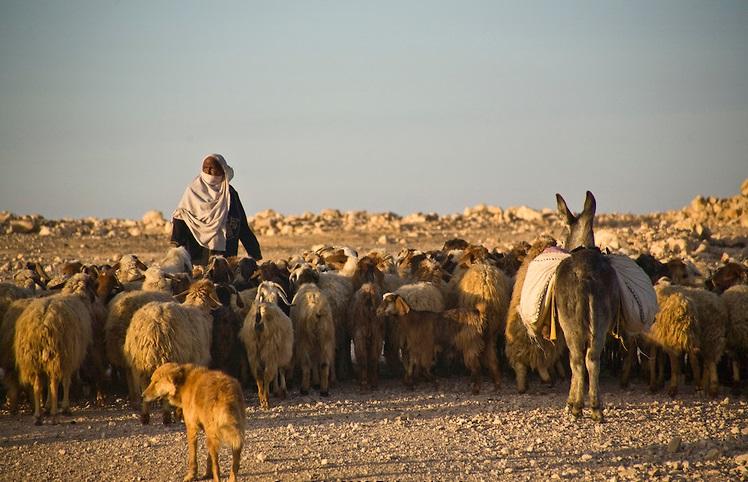 上图:一位贝都因牧羊人在以色列南地放羊。