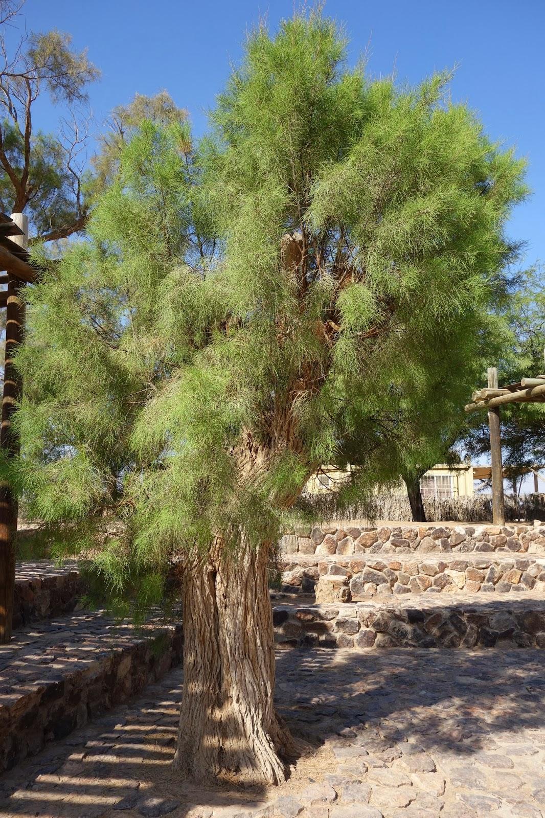 上图:别是巴遗址的柽柳树。