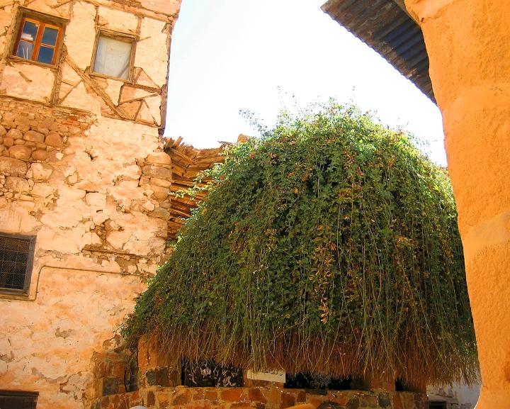 上图:西奈山下圣凯瑟琳修道院(St. Catherine's Monastery)的「荆棘」,传统认为摩西看到的燃烧的「荆棘」就是类似的样子。