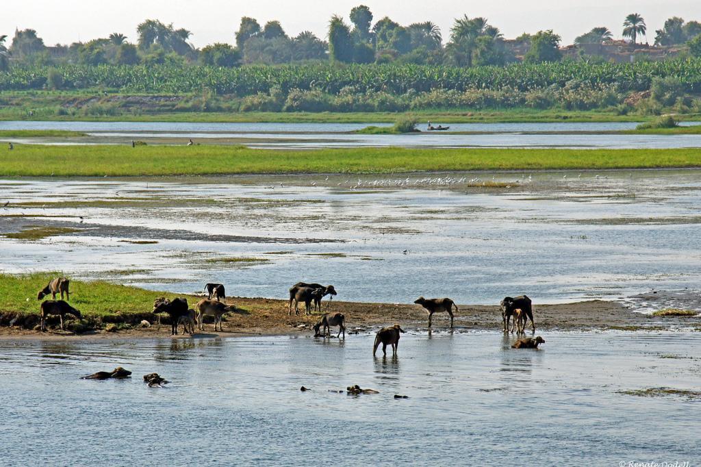 上图:在尼罗河放牧的牛。
