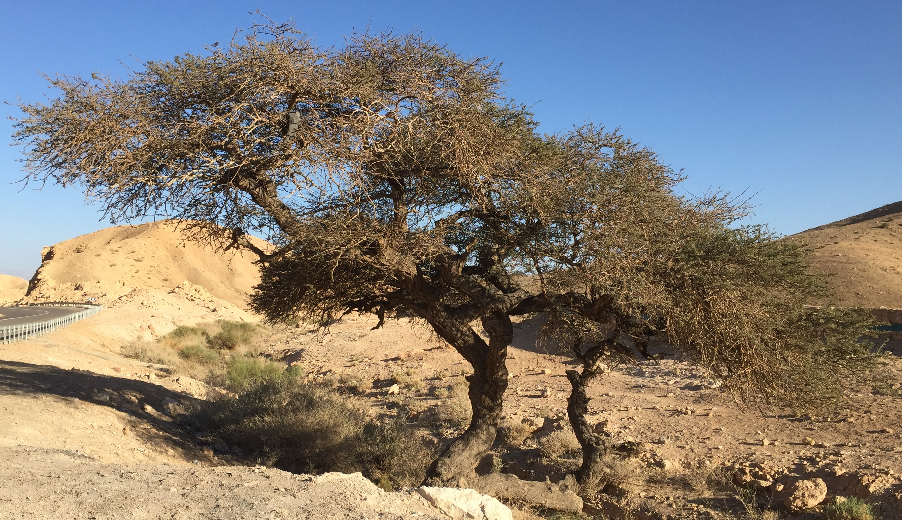 上图:犹大旷野中的一棵皂荚木(Acacia),树形如伞,树身有刺,木质坚硬。