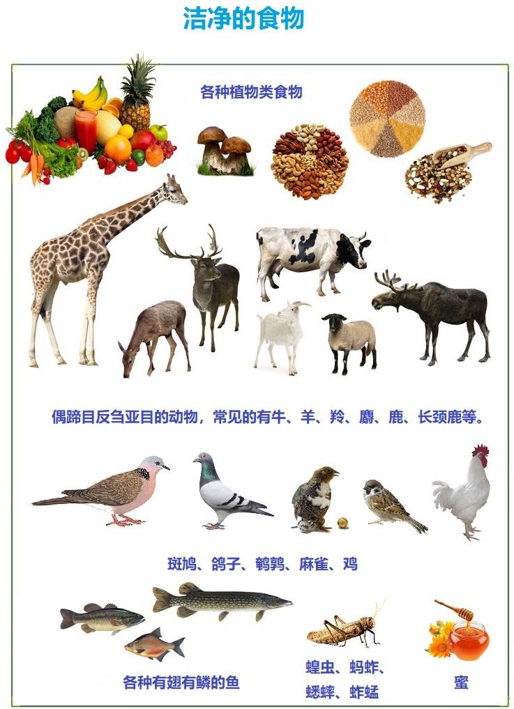 上图:洁净的食物。神只把少数几种动物划为可吃的「洁净」动物,可以避免对自然资源的滥用。这些动物大都是温顺的食草动物,种群的数量也比较大。