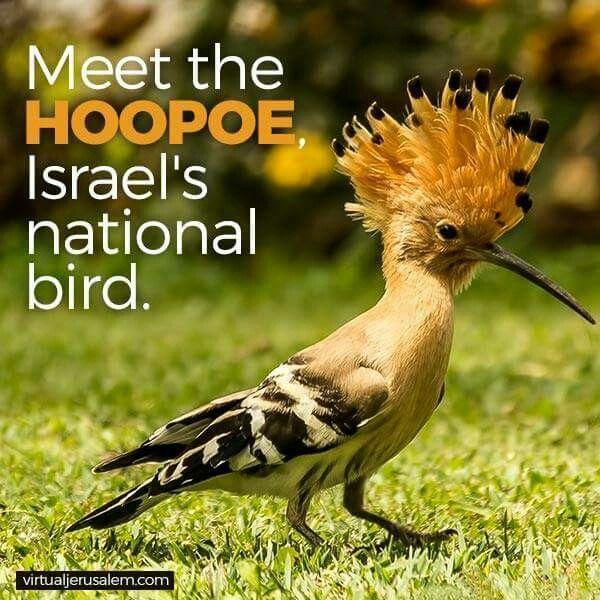 上图:戴鵀(Hoopoe)是以色列常见的一种鸟,又叫戴胜,有美丽的羽毛,2008年被选为以色列的国鸟。戴胜的母鸟不处理雏鸟的粪便,孵卵期间又从尾部腺体中排出一种黑棕色的油状液体,因此以巢恶臭闻名。戴胜也是金门县的县鸟,常栖息在破墓穴中,金门人称之为墓坑鸟。