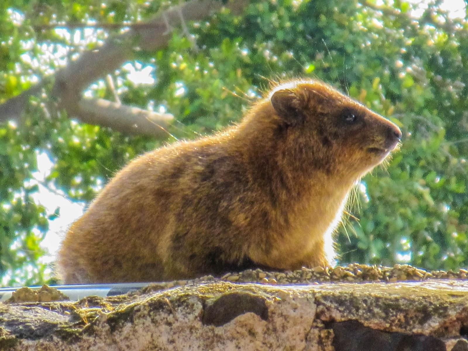 上图:加利利地区的岩蹄兔(Rock Hyrax)。蹄兔(Hyraxes)又叫岩狸,外形像兔,足有软掌,便于在岩石间跳跃行走。加利利海附近有许多岩石堆,有大量岩蹄兔在此安家。因为中国没有这种动物,所以音译为「沙番」。