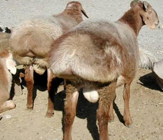 上图:中东常见的肥尾羊(Awassi),硕大的肥尾巴可重达12-30公斤,里面储藏了大量脂肪,自古就是中东各民族的美味。