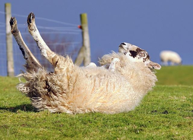 上图:在牧场上经常会看到绵羊四脚朝天躺在地上,通常是因为滑倒、过肥、过重或怀孕。绵羊无法自己翻身,它会一直躺在地上,直到成为食肉动物的猎物。即使没有猛兽,绵羊胃里的草也会发酵产生气体,躺倒的羊无法排出胃里的气体,最后气体压迫肺,使绵羊窒息而死。因此,这时需要有人帮助它翻转过来。绵羊翻身以后,可能会晕一会儿,然后就会跑到其它同伴中间。正如诗二十三3所说:「祂使我的灵魂苏醒」。