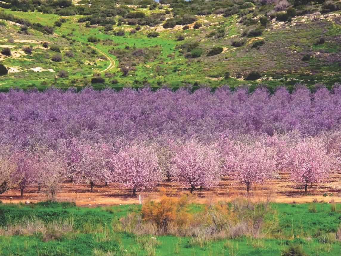 上图:在大卫打败歌利亚的以拉谷,每年早春杏花盛开。以色列的杏树就是扁桃树(Prunus amygdalus),每年阳历1、2月间开粉红色或白色的花,花有5瓣,先开花后长叶,是当地春天最早开花的树。杏树的树形、初熟的果实与桃树相似,成熟后果实会裂开,露出其中的核,核里就是杏仁。
