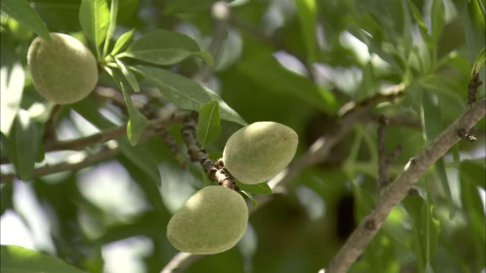 上图:以色列的熟杏。