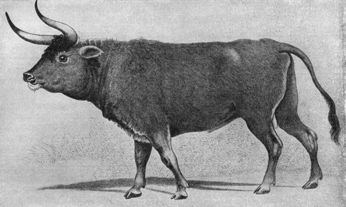 上图:16世纪的原牛(Aurochs)画像。原牛是一种已灭绝的野牛,是古代西亚和欧洲的重要猎物,最后一只于1627年在波兰灭绝。英文KJV译本根据七十士译本和武加大拉丁译本,把「Rĕ'em/רְאֵם」(民二十三22)译为「独角兽 Unicorn」。19世纪瑞士动物学家Johann Ulrich Duerst根据阿卡德楔形文字中的同源字「Rimu」,辨别出「Rĕ'em/רְאֵם」就是原牛,现在被普遍接受,所以现代译本一般译为「野牛」。
