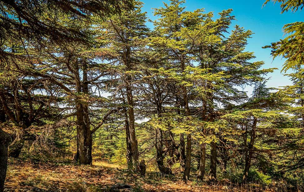 上图:黎巴嫩阿尔寿夫雪松自然保护区(Al Shouf Cedar Nature Reserve)的香柏木。