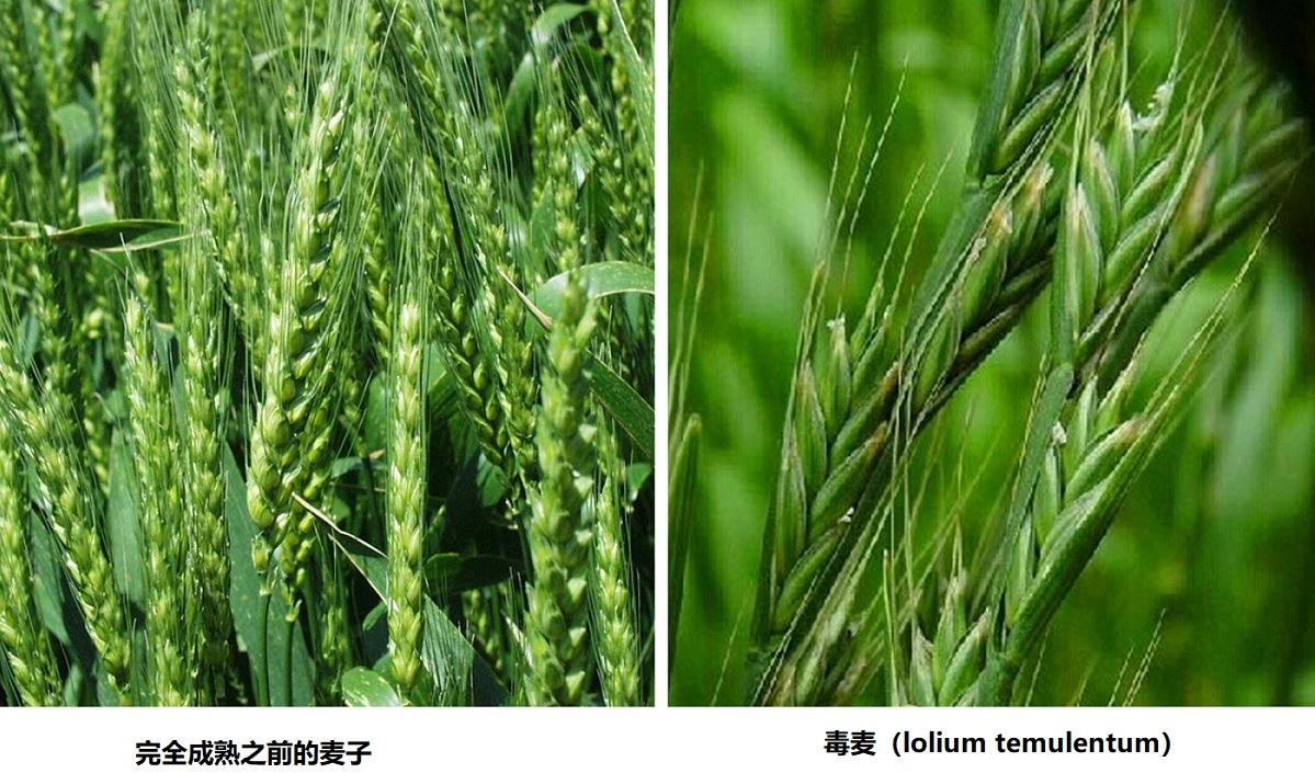 上图:麦子和稗子(毒麦)。麦子在完全成熟之前,和稗子很难区分,但成熟之后,就很容易区分。