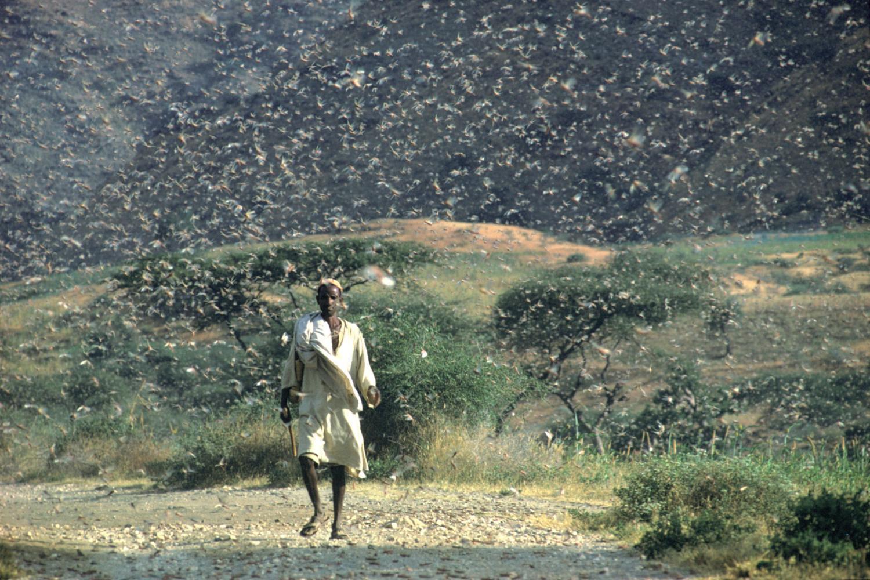 上图:1968年7月埃塞俄比亚爆发的沙漠蝗灾。蝗虫是古代中东常见的灾祸,会对农作物造成彻底的破坏。蝗虫的繁殖地在苏丹、埃塞俄比亚和也门一带,在二、三月间开始随着风向迁徙,或到埃及,或到迦南。