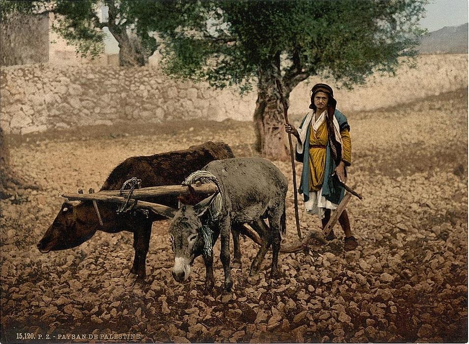 上图:1890年的照片,一位巴勒斯坦人正在用牛和驴一起耕地。类似的照片还有许多,都收藏于美国国会图书馆(Library of Congress),表明牛和驴一起耕地,并没有技术上的难题。