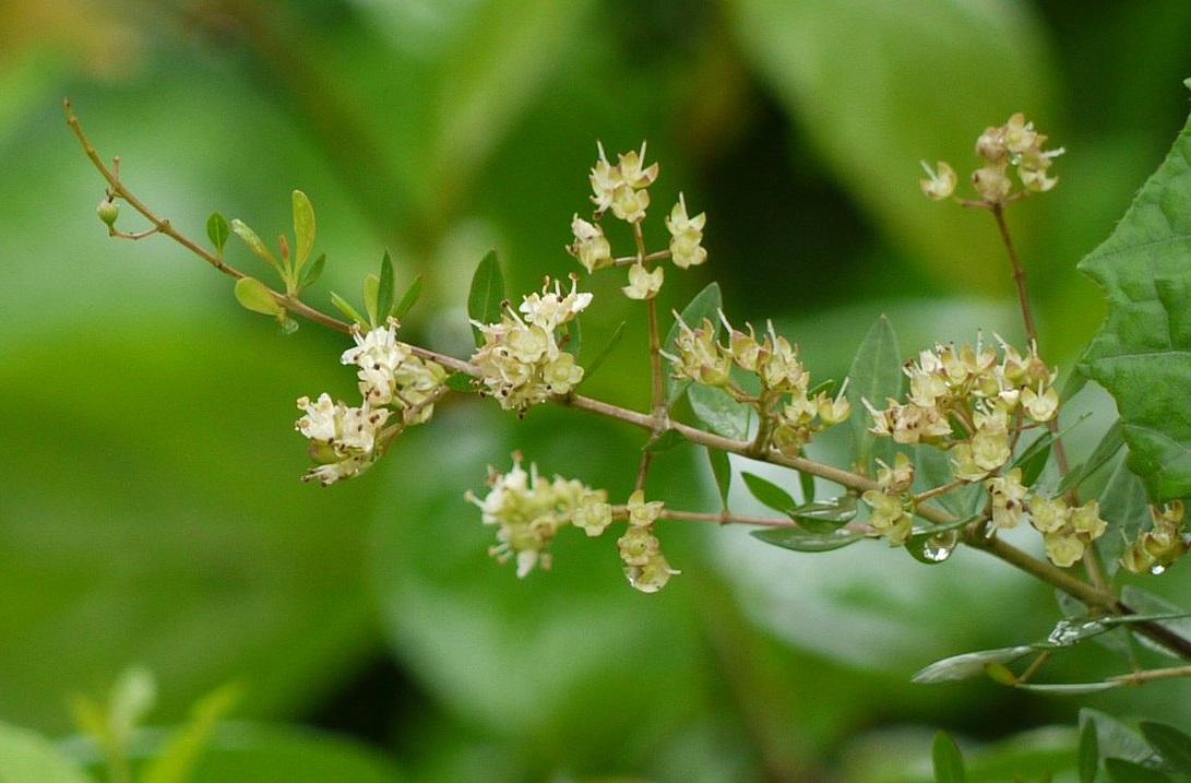 上图:以色列的「凤仙花」(散沫花、指甲花)在四月底、五月初盛开大量白色、黄色、橙色或粉色的芳香花朵。