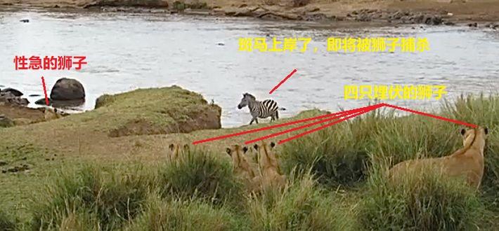 上图:斑马上岸以后,有一只性急的狮子过早地暴露了。