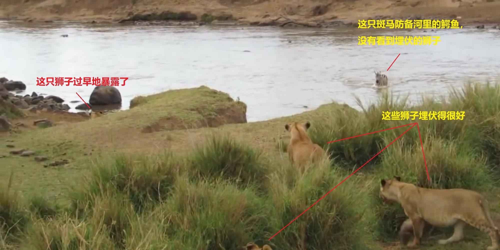 上图:东非,五只狮子正埋伏在草丛中,等待一只斑马渡过马赛马拉河(Maasai Mara)。