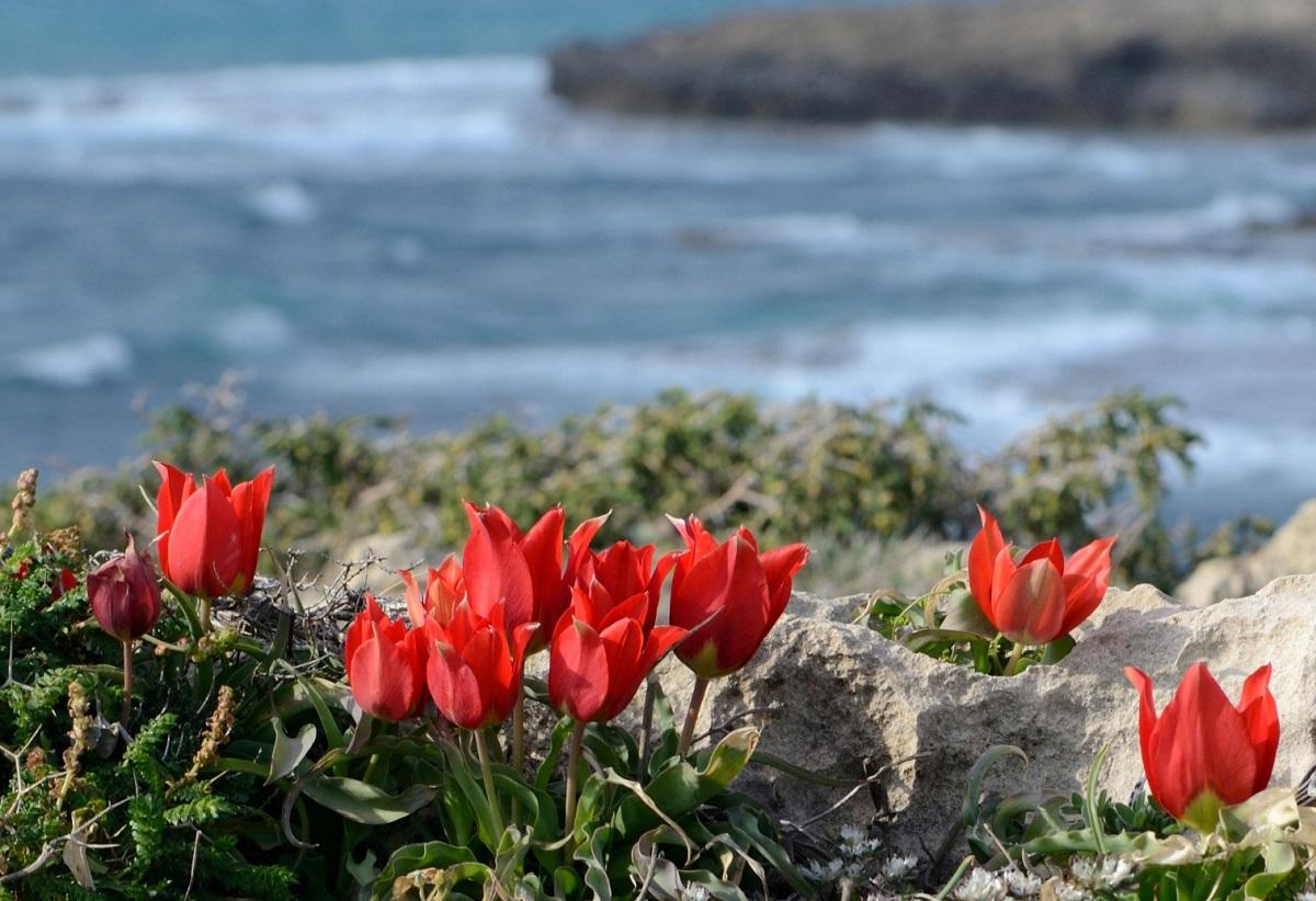 上图:以色列Dor-Habonim海滩的沙仑郁金香(Sharon tulip)。沙仑郁金香是一种过去遍布以色列的野花(Tulipa agenensis subspecies sharonensis),也可能就是「沙仑的玫瑰花」(歌二1)。