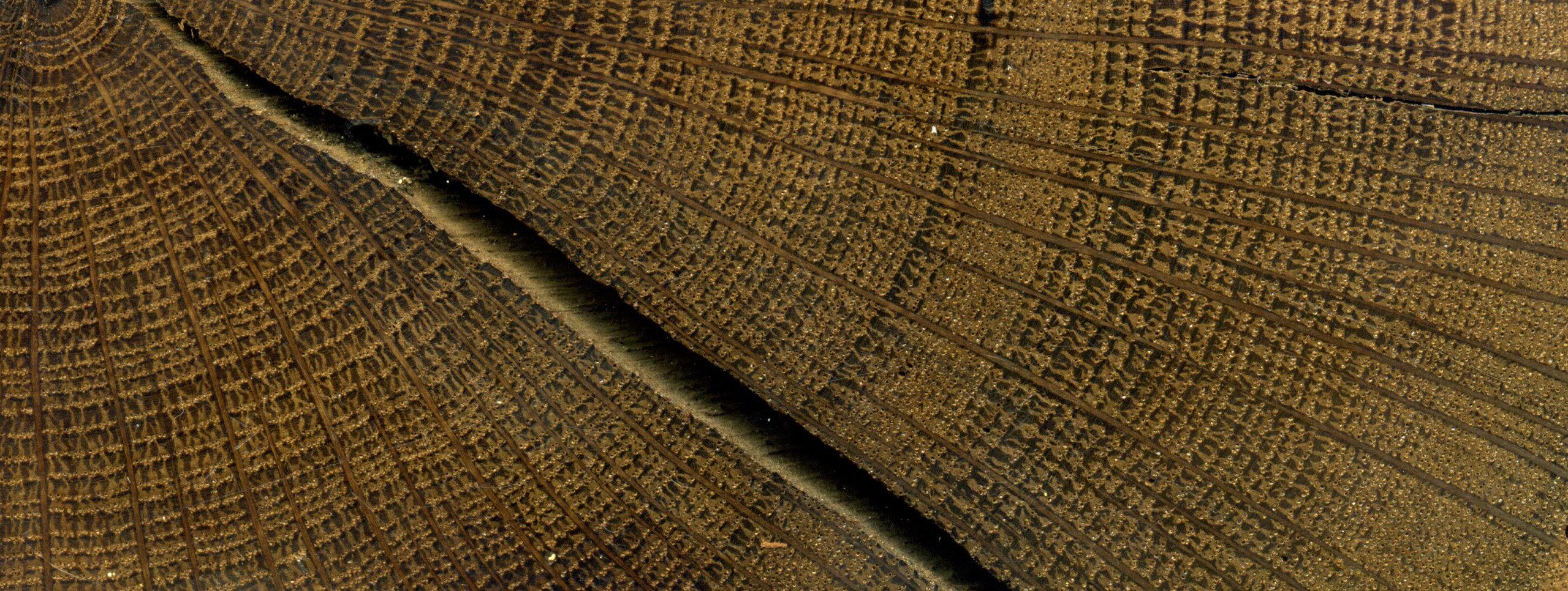 上图:亚利桑那大学研究团队测定米诺斯火山爆发时间所使用的爱尔兰橡树年轮。米诺斯锡拉岛火山爆发(The Minoan eruption of Thera),又叫做圣托里尼火山爆发,是地球上最严重的火山爆发之一。米诺斯火山爆发的时间根据放射性碳定年是主前1627-1600年,而根据古埃及的记录及挖掘出的陶器定年是主前1570-1500年,在考古界争议很大。如果米诺斯火山爆发能精确定年,就能确定主前第二千年古代埃及、希腊和中东许多历史事件的时间。2018年8月15日,亚利桑那大学的树木年代学家Charlotte Pearson的研究小组宣布,他们分析了主前1700-1500年285棵来自不同地方的树木年轮样本,发现现有的放射性碳校准曲线在这一时期并不完全正确,根据修正后的校准曲线,他们测定米诺斯火山的爆发时间是主前1600-1525年,与考古定年吻合。按照这一结果,耶利哥谷物的放射性碳定年也将被推迟100年,与约书亚进迦南的年代一致。