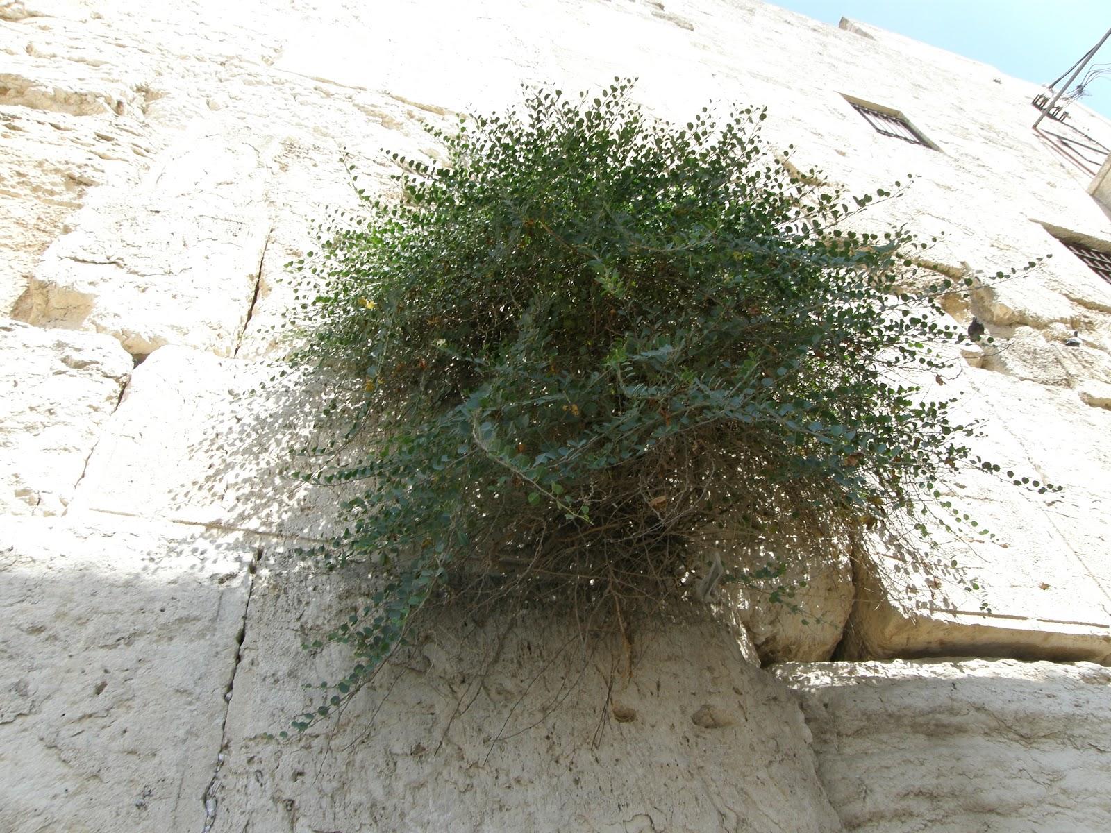 上图:耶路撒冷西墙石缝里生长的刺山柑(Capers),可能就是牛膝草(Hyssop)。牛膝草生长于石缝和牆上(王上四33),有人认为是以色列常见的墨角兰(Origanum Marjoram),也有人认为是刺山柑(Thorny Capers),它们都是普通平凡的植物,枝条和厚叶多毛。 出埃及时,以色列用牛膝草把逾越节祭牲的血涂在门楣和两边门柱上(出十二22)。西奈山立约时,摩西用牛膝草蘸血和水洒在约书上和百姓身上(来九19)。为消除了痲疯病的人或房子进行洁淨礼时,也用到牛膝草(利十四4、6、49、51)。牛膝草也用来制作红母牛灰做的除污秽的水(民十九6),并用来蘸这水去洁净人和器皿(民十九18)。