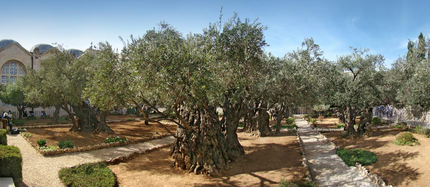 上图:客西马尼园中八棵古老的橄榄树。根据碳十四测定,其中三棵树最古老部分的年份是1092、1166和1198年。由于这几棵树的树干已经空心,所以这几棵树的年龄可能已经有两千年。而根据DNA测试,这三个棵是一棵更古老的树的根部发芽长成的。