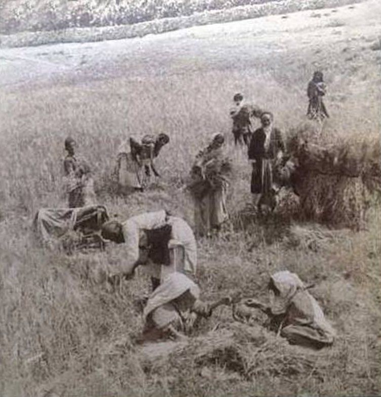 上图:19世纪末,伯利恒的巴勒斯坦人在收割。