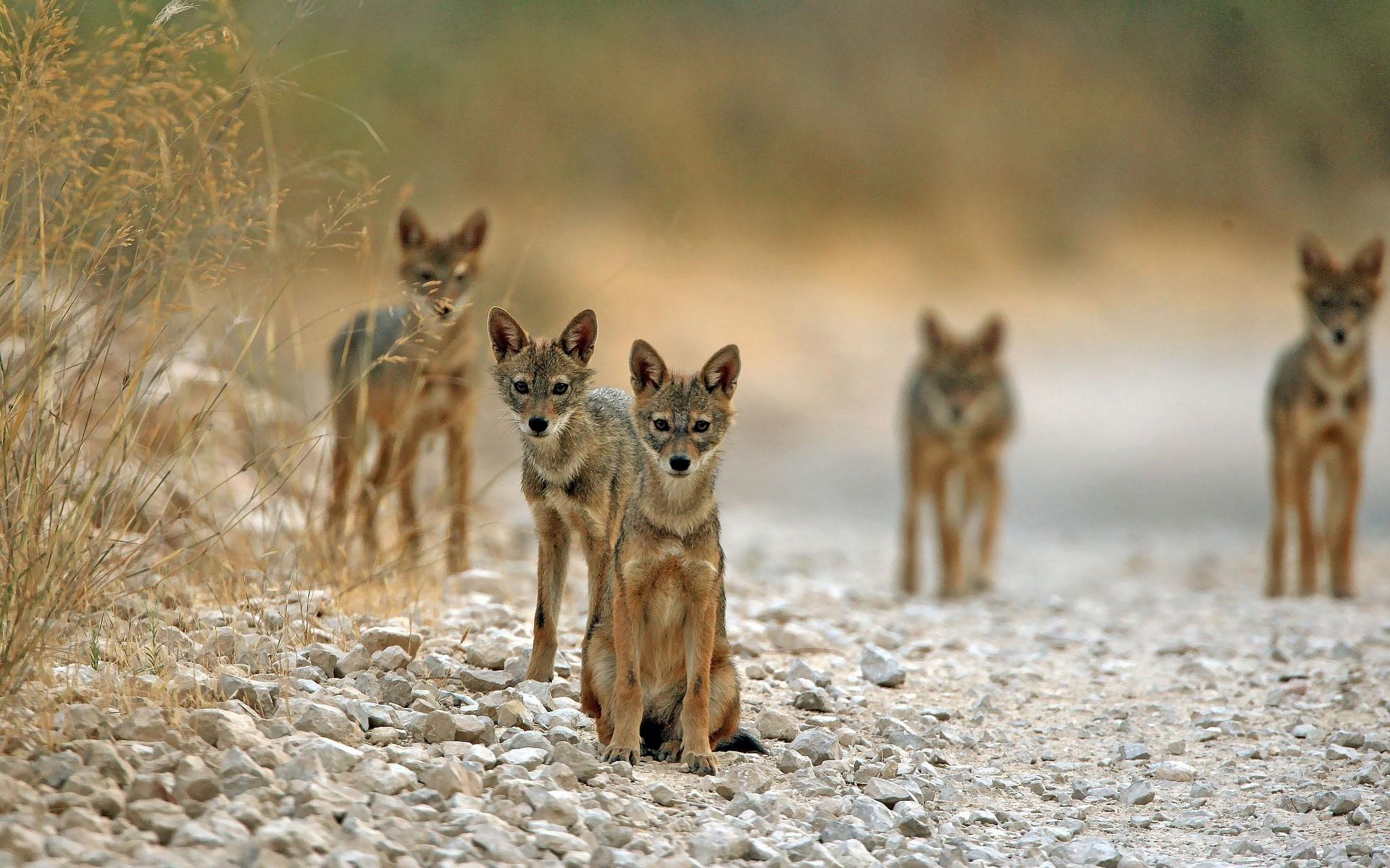 上图:一群金豺坐在耶路撒冷附近的路上。以色列的金豺(Golden Jackal)很多,学名亚洲胡狼(Canis aureus),是杂食动物,2018年的统计数据有2000多只。金豺是一夫一妻制,尚未找到配偶的成年金豺会留在父母身边帮忙照顾弟弟妹妹。