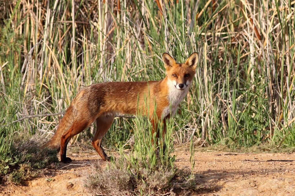 上图:生活在以色列的丘陵和平原地区的狐狸主要是赤狐(Red Fox)。赤狐又名火狐,腹部白色,腿和耳尖黑色,其他部分都是红色。赤狐的适应能力很强,但与金豺的食物相同,所以通常会避开金豺。金豺多的地方赤狐很少。