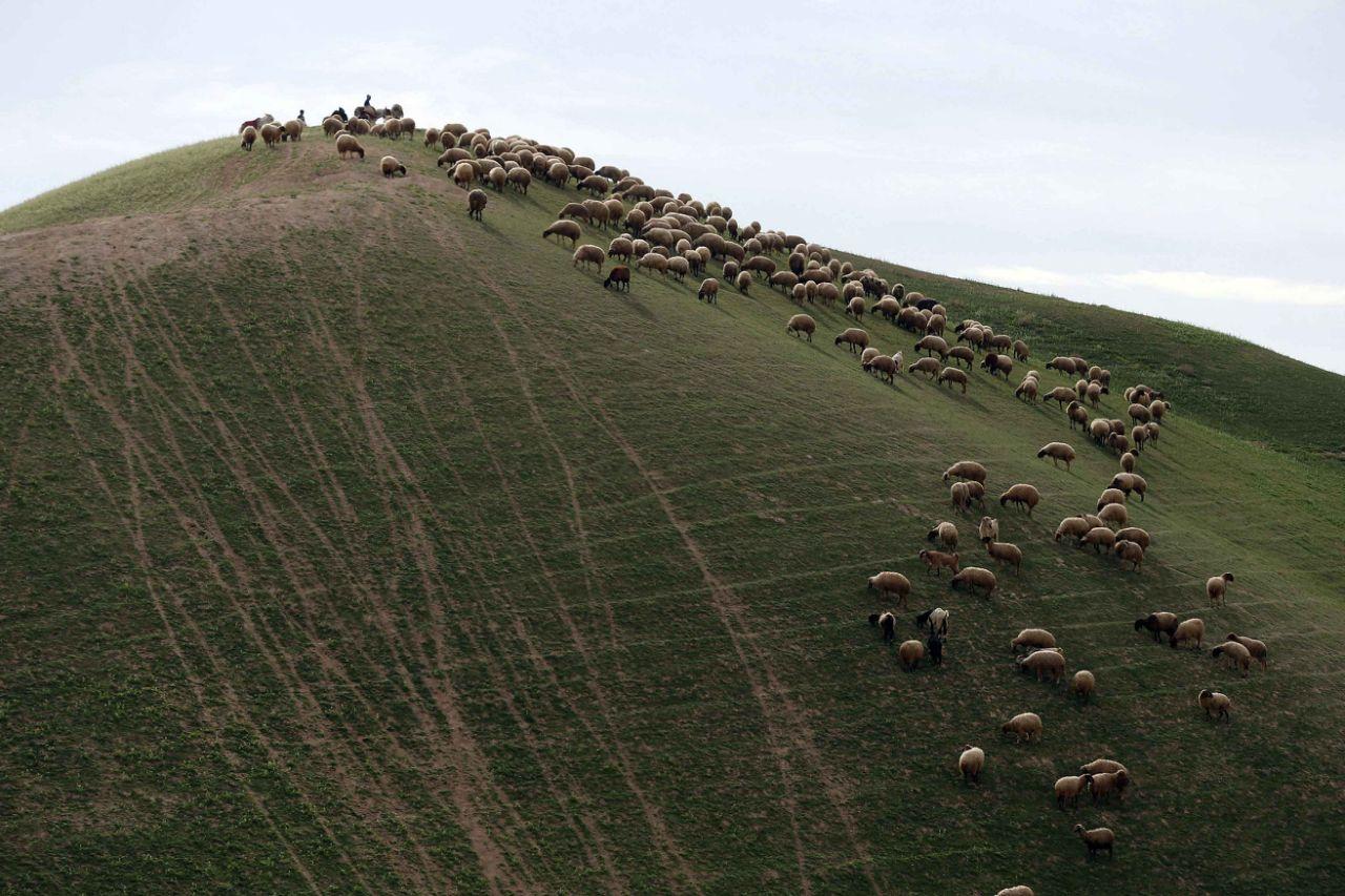 上图:现代巴勒斯坦人在耶路撒冷与耶利哥之间半干旱的犹大旷野牧羊。最好的羊肉并不是来自水草丰茂的地方,而是来自半干旱的旷野。因为在环境严酷的旷野,羊需要储存更多的能量,因此风味物质含量更高,口味更为浓郁。