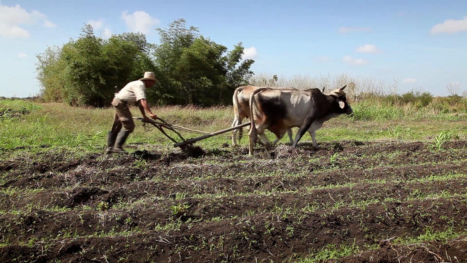 上图:一位农夫扶犁而耕,为播种做好准备。从主前3500年开始,美索不达米亚和埃及的农民就开始用犁耕地,把深层的土壤翻到土地的表面,可以使土壤松动,盖住杂草及以前的作物,使土中的有机物质更快变成腐殖质,也可以减少作物的许多天敌。当犁划过土壤时,产生的有肥沃土壤的长沟被称为「犁沟」。