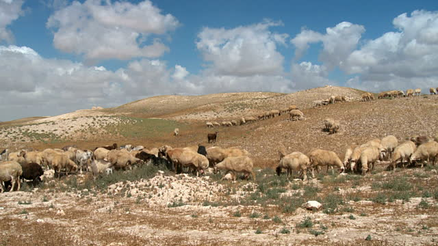 上图:半干旱的犹大旷野里的羊群。最好的羊肉并不是来自水草丰茂的地方,而是来自半干旱的旷野。因为在环境严酷的旷野,羊需要储存更多的能量,因此风味物质含量更高,口味更为浓郁。所以大卫的哥哥说「旷野的那几只羊」(撒上十七28)。