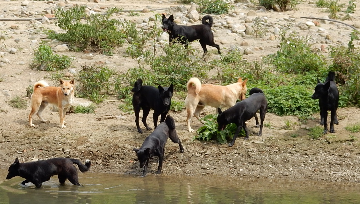 上图:一群野狗。古代的狗并没有今日宠物的地位和待遇,如果被主人遗弃,就得忍饥挨饿,成群结队地在城市、乡村觅食。
