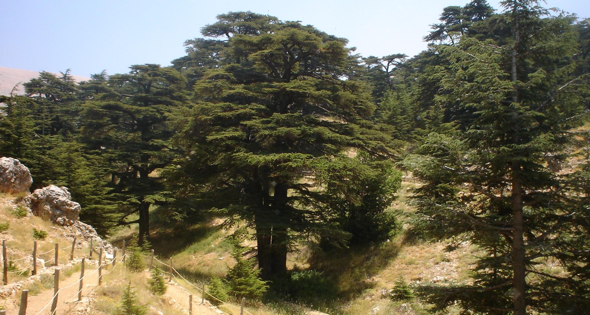 上图:黎巴嫩的香柏树林。