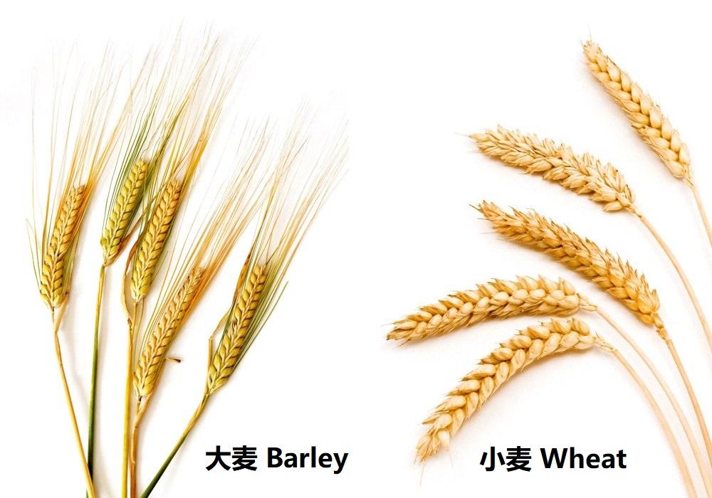 上图:大麦和小麦。大麦是古代美索不达米亚人的主要食物,甚至可以用来衡量其他产品的价值。