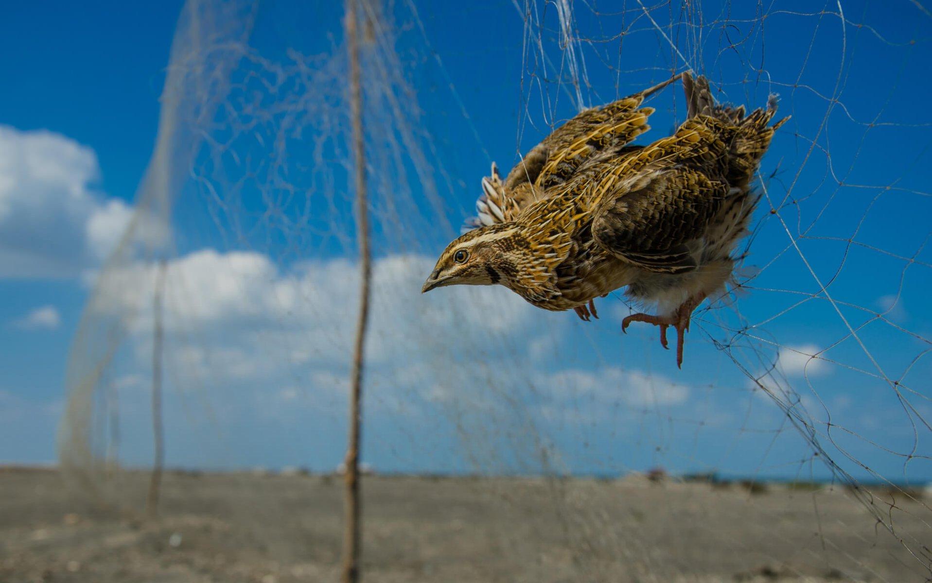 上图:埃及人用网罗非法捕捉鹌鹑。古代中东人用网罗来捕鸟,一直沿用至今。现代法律规定了网罗的尺寸、位置和时间。
