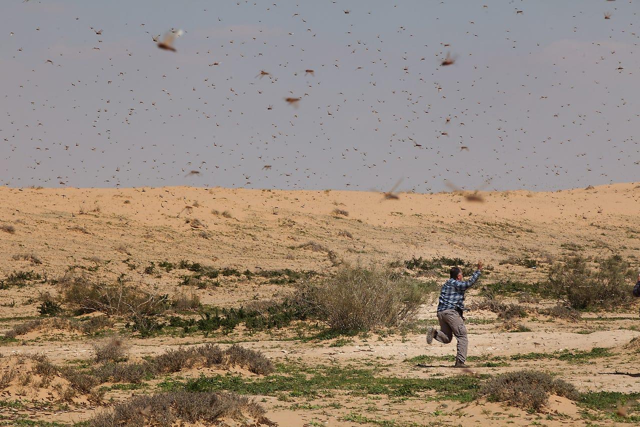 上图:2013年3月、逾越节前三周,一群蝗虫从苏丹经埃及进入以色列南地沙漠,这时以色列最近遭遇的一次蝗灾。在苏丹和也门,蝗灾每10-15年就会爆发,袭击埃及、沙特、约旦和以色列。幸运的是,律法规定蝗虫是洁净的食物。
