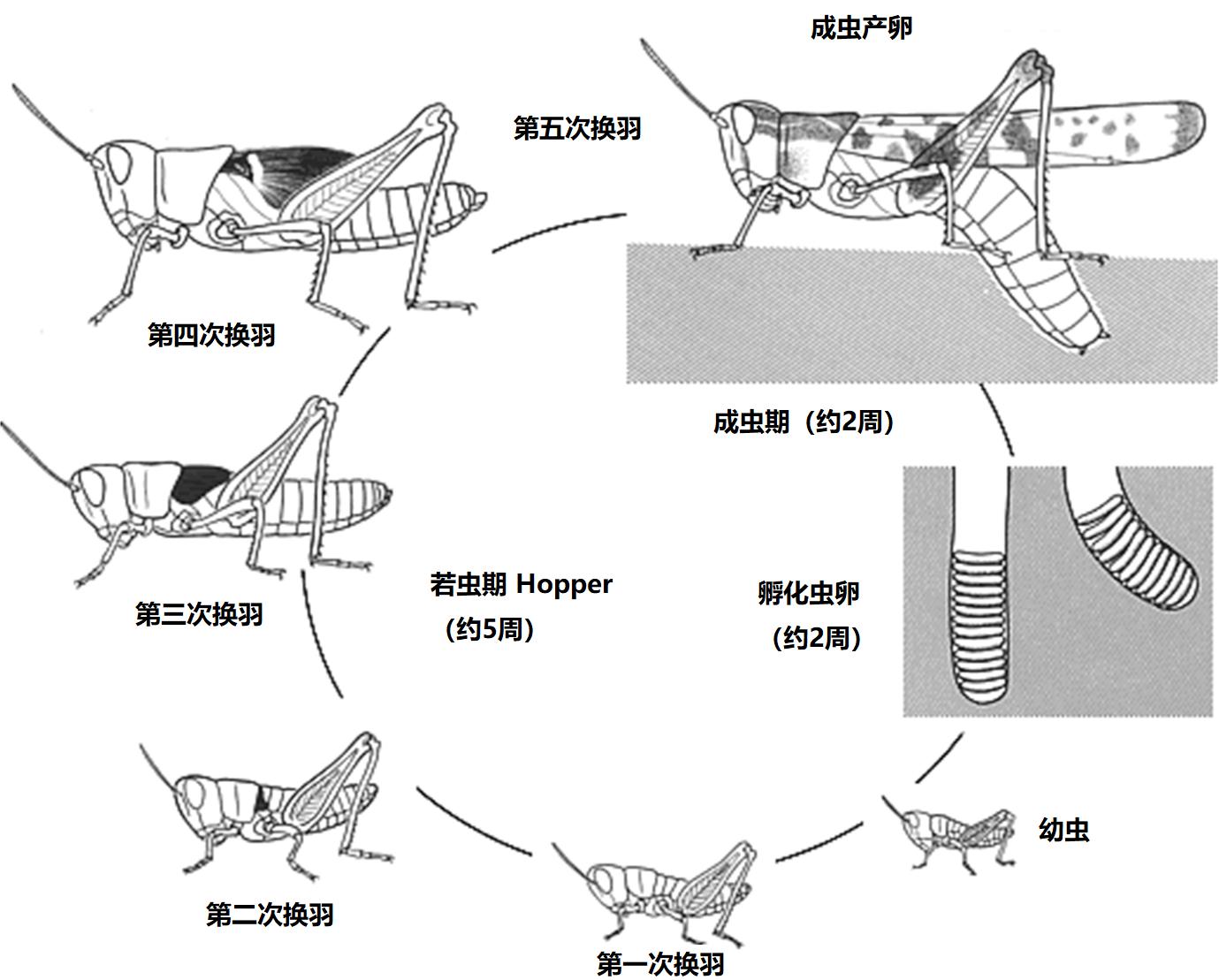 上图:蝗虫的生命周期。蝗虫是不完全变态(Hemimetabolism)的昆虫,一生经过卵、若虫和成虫三个发育阶段,卵产于土中,若虫和成虫在地上生活。交尾结束后,雌虫的腹部可伸长约两倍,向土中产卵。卵被雌虫分泌的泡沫状物包起来,保护蛋不受季节的变化和干燥的危害;通常去年暖冬或寒冬不够长久,第二年蝗灾就比较严重。蝗虫喜旱怕雨,一旦天雨,翅膀沾湿不能觅食,往往会饿死。刚孵化的幼虫仍包裹着薄皮,从土中出来后,开始在地面进行最初的蜕皮。幼虫没有翅膀。随着重复蜕皮,蜕皮共约五次,身体会逐渐变大,翅膀也会越来越明显。进行最后的蜕皮后,成虫的翅膀伸长,雌虫的产卵管形成,可以交配生产下一代。