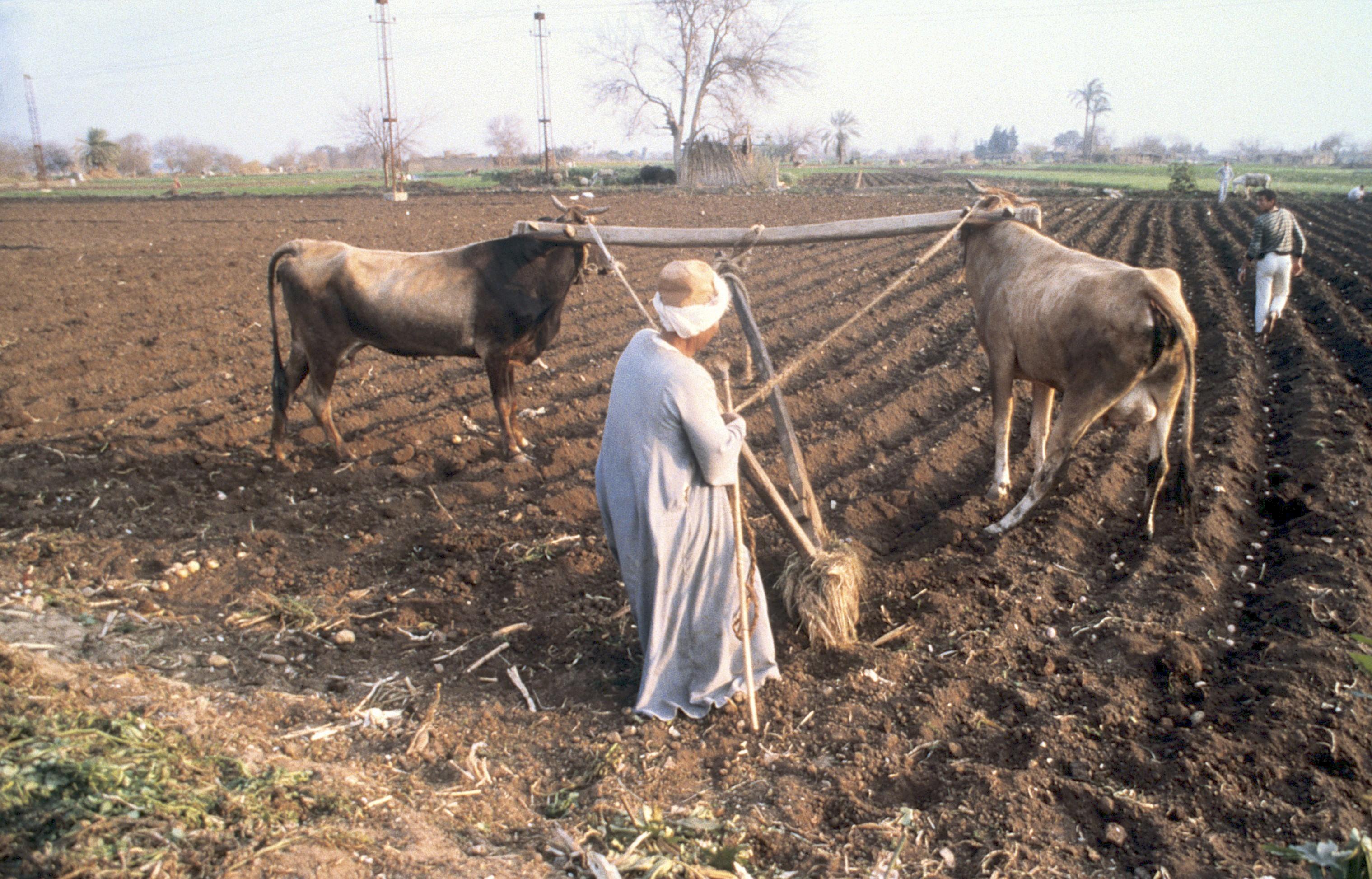 上图:埃及农民使用传统的牛拉犁耕田。耕田需要把深层的土壤翻到土地的表面,对于牲畜来说,比踹谷辛苦得多。