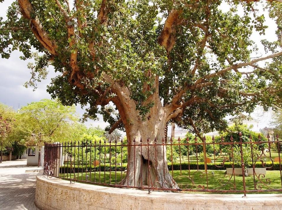 上图:耶利哥的撒该的桑树(Zacchaeus' sycamore fig)。传说个子矮小的税吏撒该为了能看见耶稣,爬上这棵桑树(路十九1-10)。桑树指西克莫无花果树,是一种桑科榕属聚果榕亚属的榕树,是广义上的无花果,树叶像桑树叶,果子像无花果,味道不同于普通的无花果,甜度一般但香味浓郁。