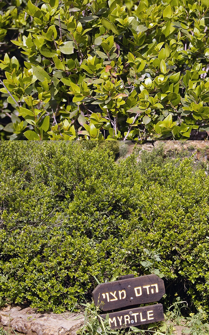 上图:生长于以色列但遗址的香桃木(Myrtle tree),「番石榴树」(亚一8)就是一种过去普遍生长于以色列的常绿香桃木。枣椰树(לולב,lulav)叶子、 香桃木(הדס,hadass)枝条、柳树(ערבה ,aravah)枝条和香橼(אתרוג,etrog)果实,是住棚节四祥植物(Four species,利二十三40;尼八15)。