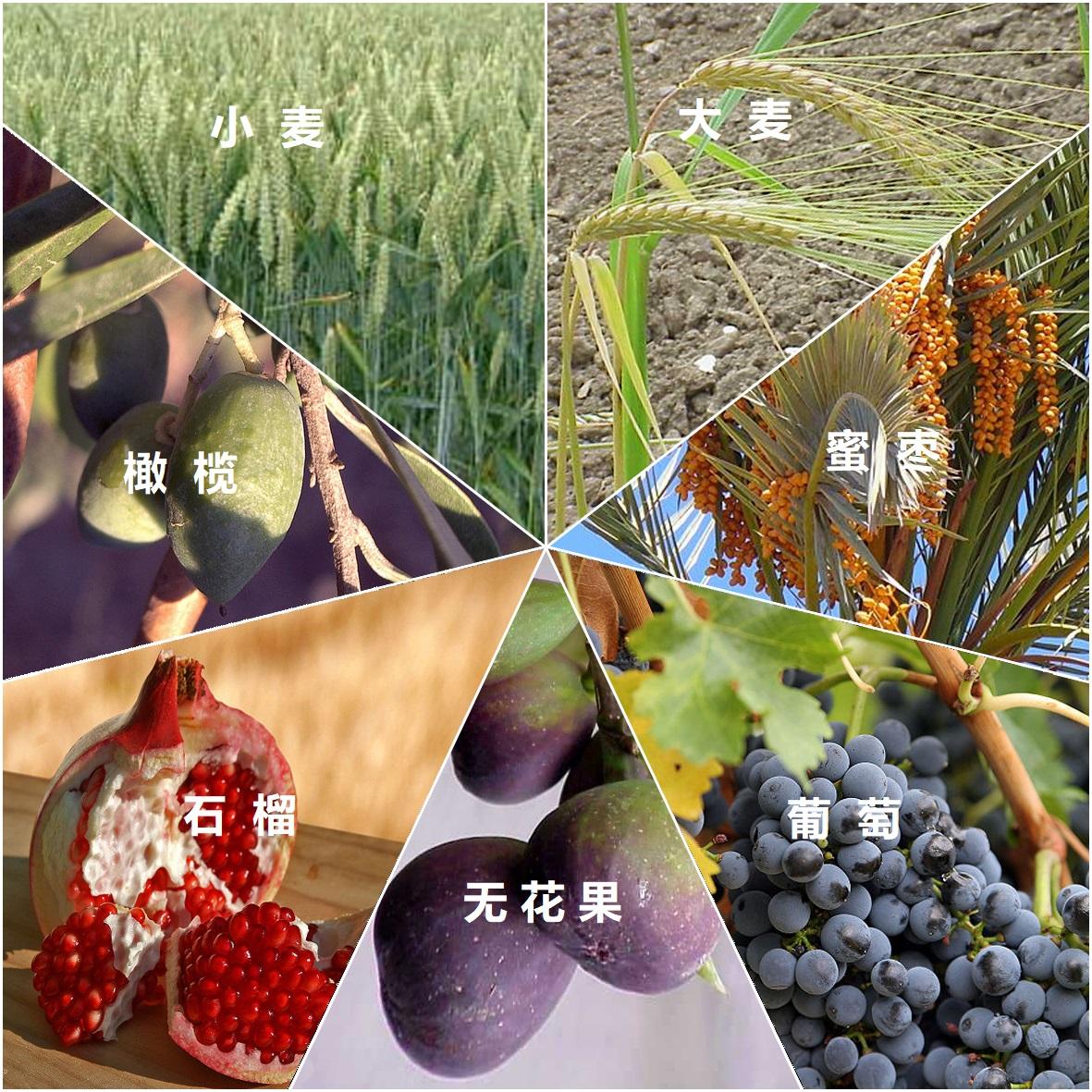 上图:「七粮 שבעת המינים, Shiv'at HaMinim / Seven Spieces」指圣经中特别列出的以色列地的七种农产品,包括小麦、大麦、葡萄、无花果、石榴、橄榄和蜜枣(申八8),是古代以色列人的主要食物。《密西拿Mishna》指出,只有「七粮」的初熟果子才能在圣殿献祭。圣经中提到的蜜(申八8),很可能是蜂蜜。但在编撰《塔木德 Talmud》时,以色列的蜜蜂已经灭绝,所以用蜜枣代替蜂蜜。
